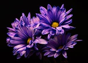 Hintergrundbilder Chrysanthemen Großansicht Schwarzer Hintergrund Violett Blüte
