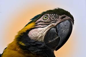 Fotos & Bilder Großansicht Vögel Papageien Eigentliche Aras Schnabel Kopf Tiere