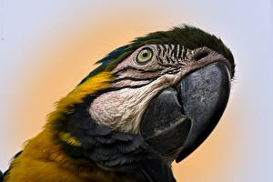 Pictures Closeup Birds Parrot Ara (genus) Beak Head animal