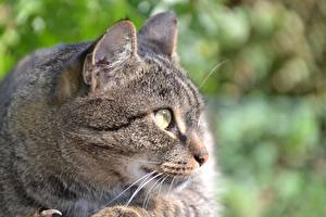 Fotos Hautnah Hauskatze Kopf Schnurrhaare Vibrisse Starren Schnauze ein Tier