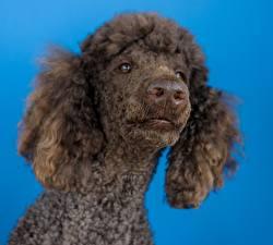 Bilder Hautnah Hund Farbigen hintergrund Starren Kopf Pudel Schnauze Nase ein Tier