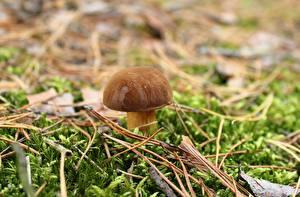 Desktop hintergrundbilder Großansicht Pilze Natur Gemeiner Steinpilz Laubmoose Natur