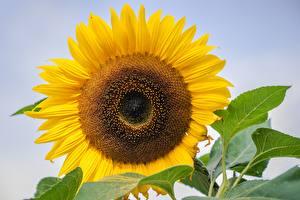 Bilder Hautnah Sonnenblumen Gelb Blüte