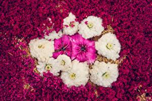 Bilder Georginen Nelken Blütenblätter Blumen