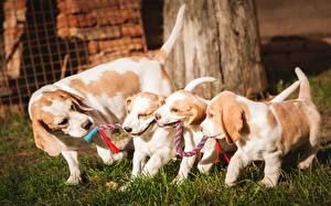 Images Dog Beagle Puppy Four 4