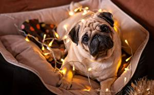 Image Dogs New year Bulldog Staring Fairy lights