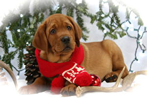 Desktop wallpapers Dogs Christmas Puppy Labrador Retriever Scarf Esting Glance Lovely Animals