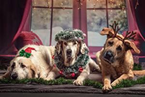 Fotos Hund Neujahr Drei 3 Liegen Kranz Horn Retriever Pfote ein Tier