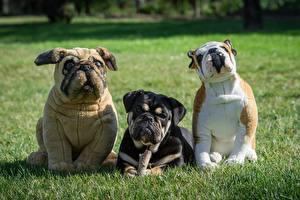 Hintergrundbilder Hunde Spielzeuge Drei 3 Gras Bulldogge