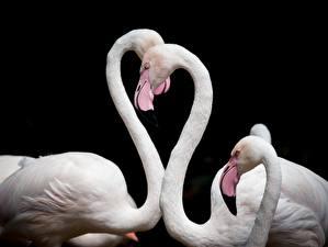 Fondos de escritorio Flamencos Pájaros Fondo negro Blanco Corazón animales