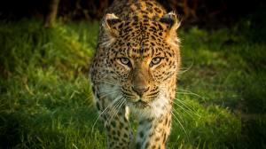 Fotos Leopard Schnauze Blick Schnurrhaare Vibrisse Tiere