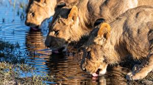 Picture Lion Lioness Drinking water Three 3