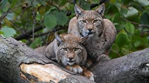 Picture Lynxes Wood log 2 Staring animal