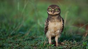 Images Owls Birds Athene