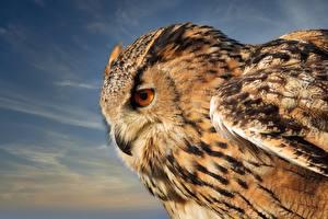 Wallpaper Owls Eurasian eagle-owl Closeup Animals