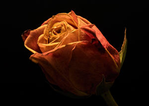 Bilder Rose Hautnah Schwarzer Hintergrund Blumen