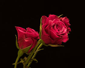 Pictures Rose Closeup Black background Red Flowers
