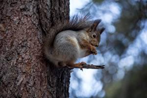 Bilder Hörnchen Baumstamm Tiere