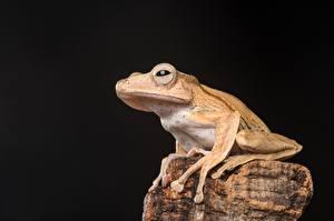 Bureaubladachtergronden Steen Kikkers Zwarte achtergrond Borneo Eared Frog Dieren