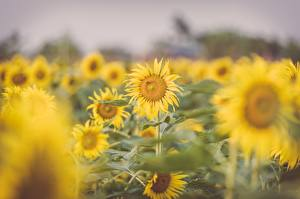 Hintergrundbilder Sonnenblumen Viel Bokeh Gelb