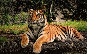 Desktop hintergrundbilder Tiger Pfote Starren Liegen ein Tier