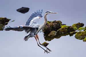 Fonds d'écran Eau Oiseaux Hérons Aile Great Blue Heron Animaux