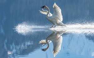 Fonds d'écran Eau Oiseaux Cygne Reflété Aile Éclaboussure d'eau Blanc un animal