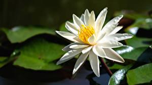 Bilder Seerosen Hautnah Weiß Blumen