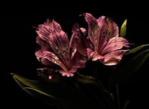 Fotos Alstroemeria Hautnah Schwarzer Hintergrund