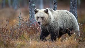Fotos Herbst Bären Gras ein Tier