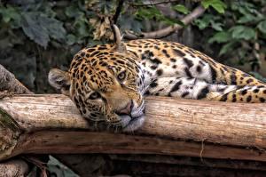 Fotos Große Katze Jaguar Liegt Blick