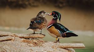 Hintergrundbilder Vogel Entenvögel 2 Wood Carolina duck, male female ein Tier