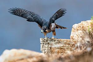 Fonds d'écran Oiseau Faucon Bokeh Aile Falco peregrinus un animal