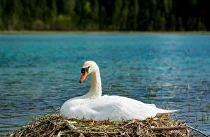 Pictures Bird Swan White