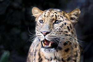 Fotos Eckzahn Leoparden Schnauze Schnurrhaare Vibrisse Starren ein Tier