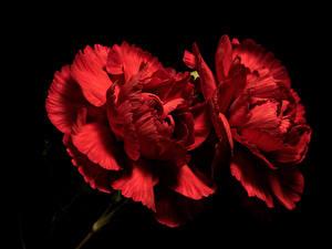 Bilder Nelken Hautnah Schwarzer Hintergrund 2 Rot Blüte
