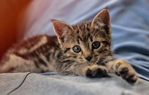 Bilder Hauskatze Katzenjunges Liegen Starren Pfote Niedlich ein Tier