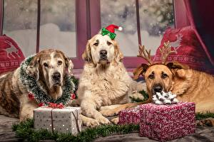 Wallpapers Christmas Dogs Retriever Three 3 Lying down Present Horns animal