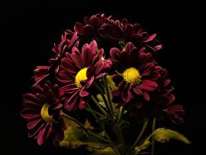 Fotos Chrysanthemen Hautnah Schwarzer Hintergrund Dunkelrote Blüte