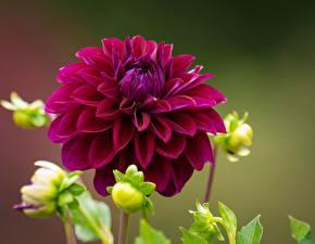 Pictures Closeup Dahlias Maroon flower