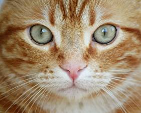 Pictures Closeup Eyes Cat Snout Nose Whiskers animal