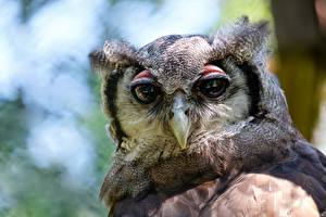 Images Closeup Owl Bird Head Staring Beak animal