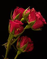 Photo Closeup Rose Black background Red Flower-bud Flowers
