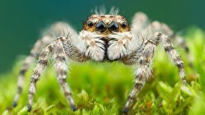 Bilder Hautnah Webspinnen Springspinnen