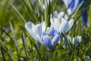 Bilder Krokusse Gras Unscharfer Hintergrund Weiß Blüte