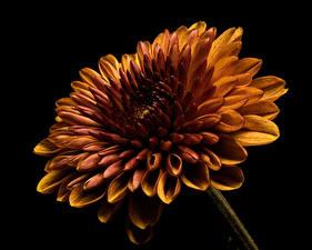 Image Dahlias Closeup Black background Orange Flowers