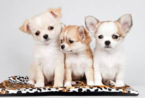 Pictures Dog Chihuahua Puppies Three 3 Staring animal