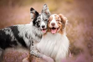 Hintergrundbilder Hund 2 Australian Shepherd Border Collie Niedlich Zunge Umarmt ein Tier