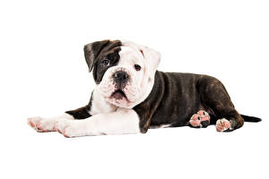 Wallpapers Dog White background Bulldog Animals