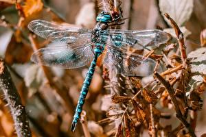 Wallpapers Odonata Closeup Wings animal